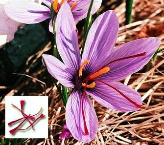 Sofranul (Crocus sativus) - Floare si stamine
