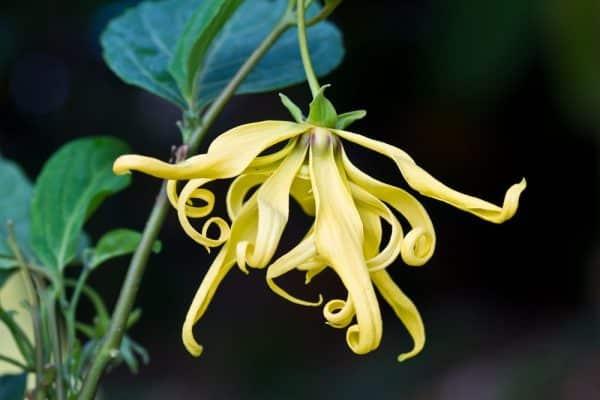 uleiul esential de ylang-ylang si floarea florilor