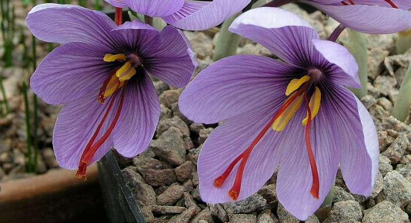 Flori cu stamine - Sofranul