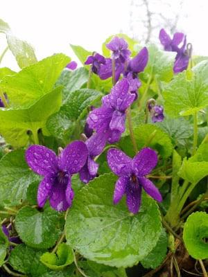 flori-toporasi parfumati