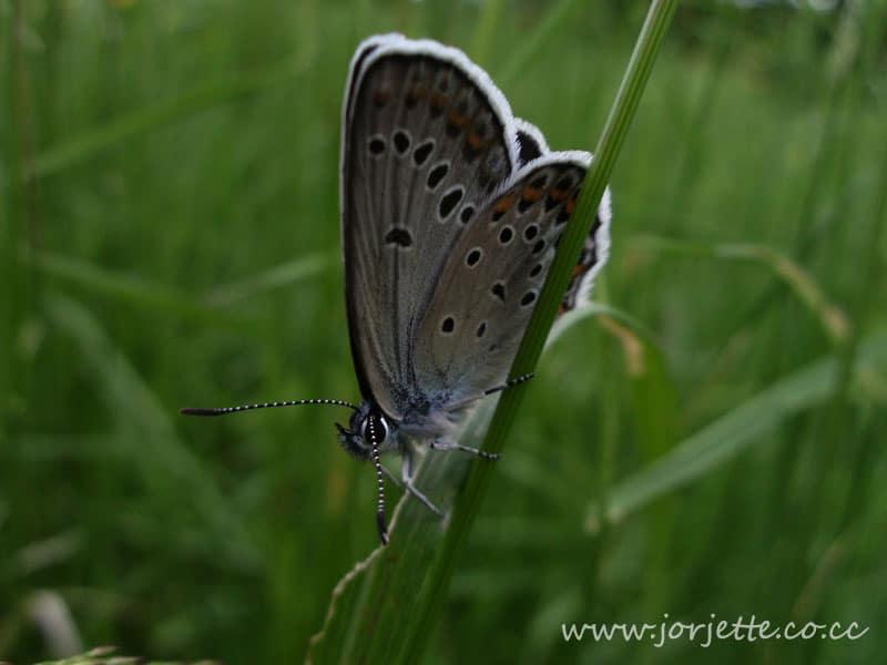 fluture gri alb
