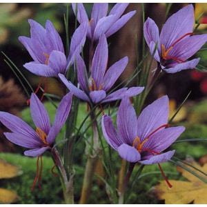 Floarea de sofran