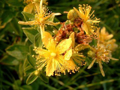 sunatoarea - planta medicinala