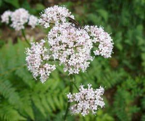 floare de valeriana