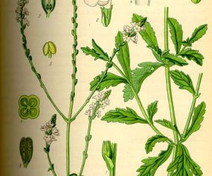 verbina ofificinalis - descrierea partilor folosite ale plantei