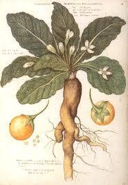 planta mandragora