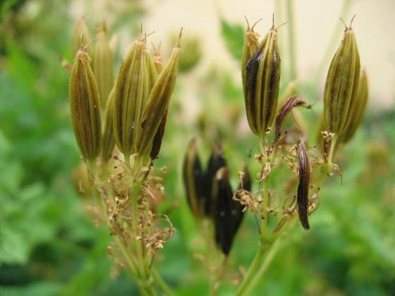 Anthriscus-cerefolium-seminte