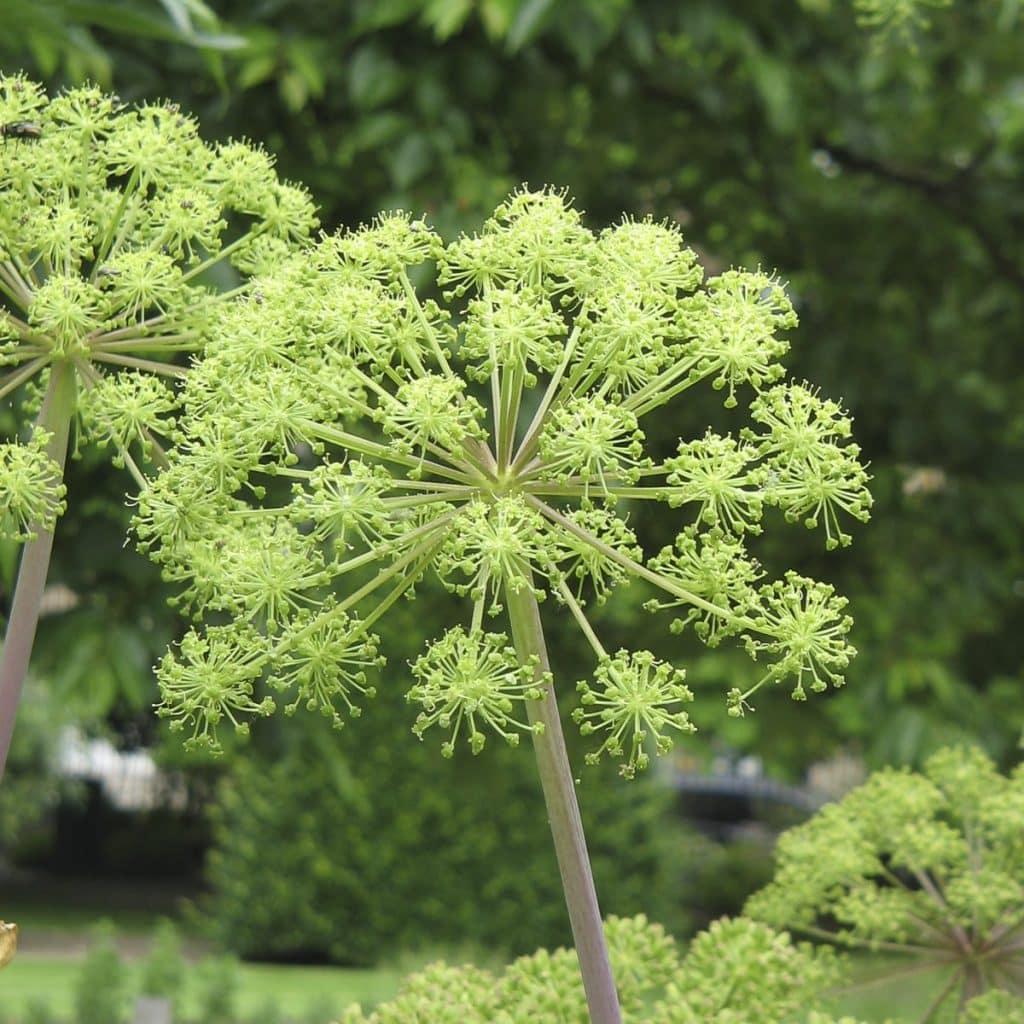 Angelica archangelica planta medicinala