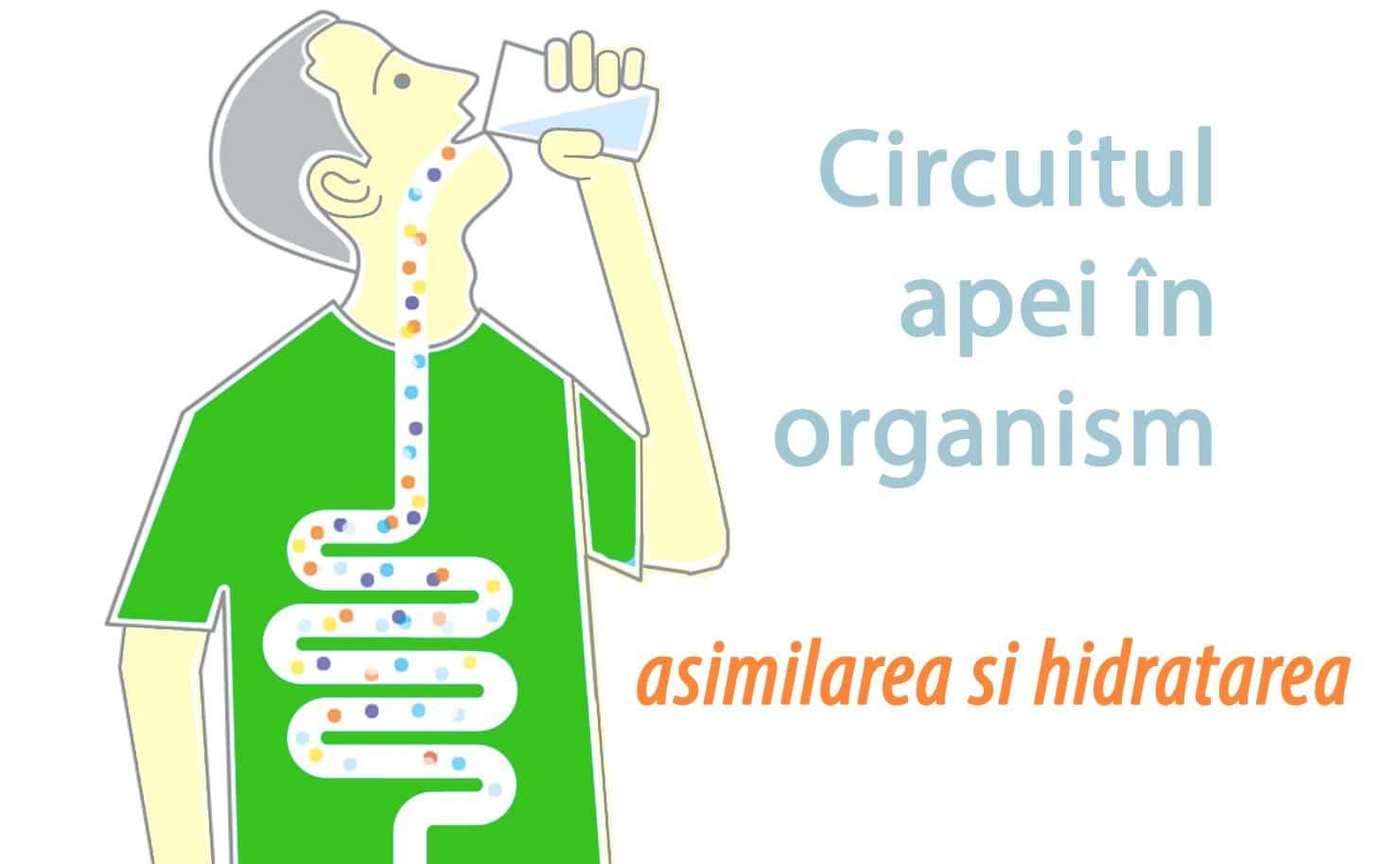 Circuitul apei in organismul uman