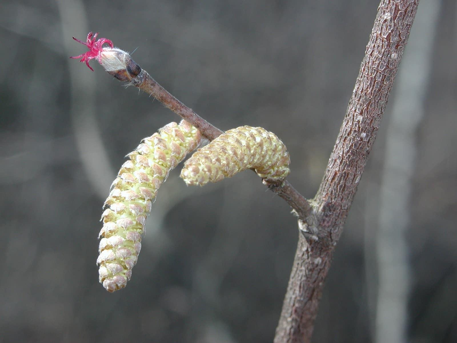 Flori de alun - masculine si feminine