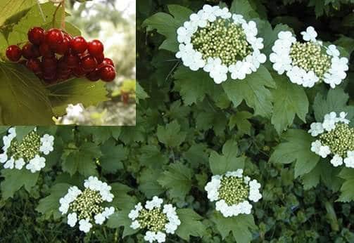 calinul flori si fructe