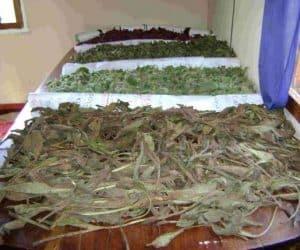 Imaginea thumbnail despre Uscarea plantelor medicinale – faze importante ale procesului