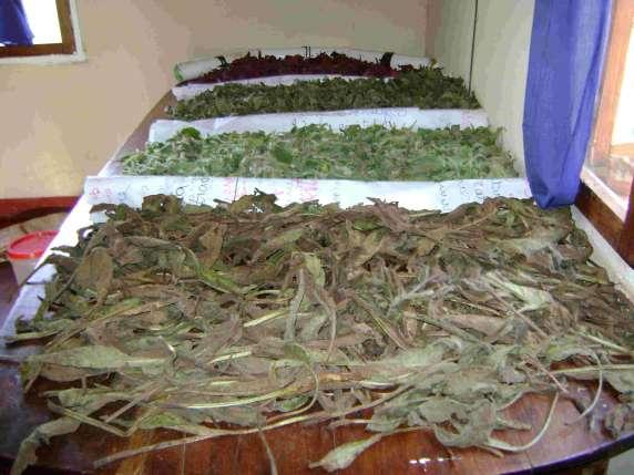 uscarea plantelor medicinale