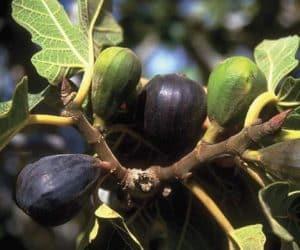cultivarea smochinului in romania cum se planteaza si cum se ingrijeste smochinul