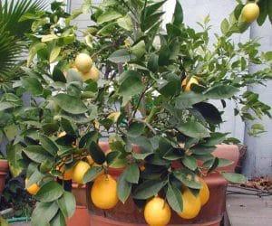 Imaginea thumbnail despre Lămâiul şi lămâia