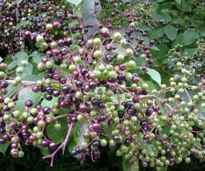 Fructe verzi si coapte de soc