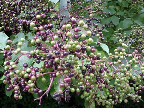 fructele de soc verzi si coapte