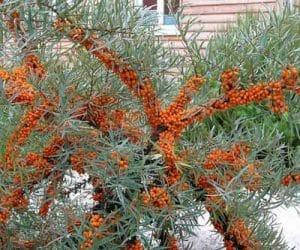 Imaginea thumbnail despre Catina alba – cultivare, crestere, inmultire si fructificare