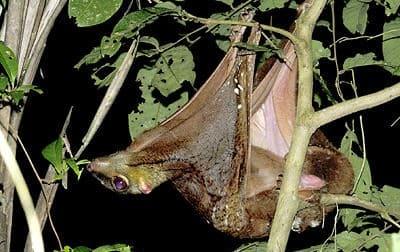 insula borneo - lemurieni zburatori - Galeopterus variegatus