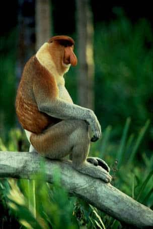 maimuta Proboscis - Nasalis larvatus - Insula Borneo