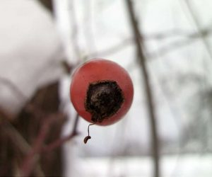 Fotografii de iarna - Macese cu vitamina C
