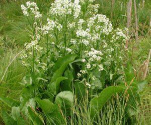 hreanul - planta de hrean cu frunze si flori