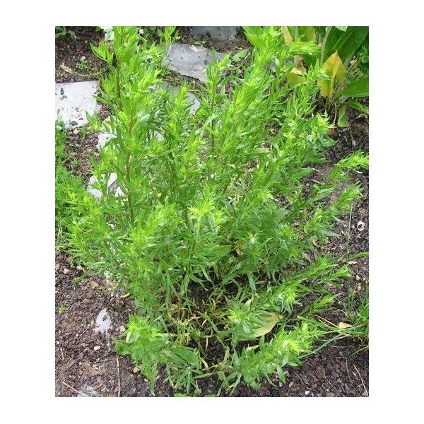 Tarhon - Planta condiment - Cultivare, utilizari, beneficii si idei de retete 1
