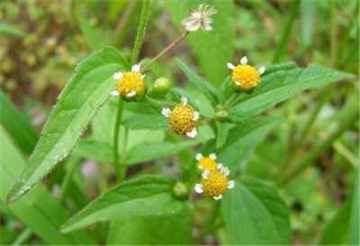 Galinsoga parviflora sau busuioc salbatic
