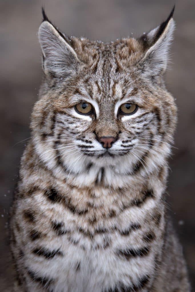 Rasul comun - L. Lynx lynx - animalele si plantele medicinale cu care se trateaza singure