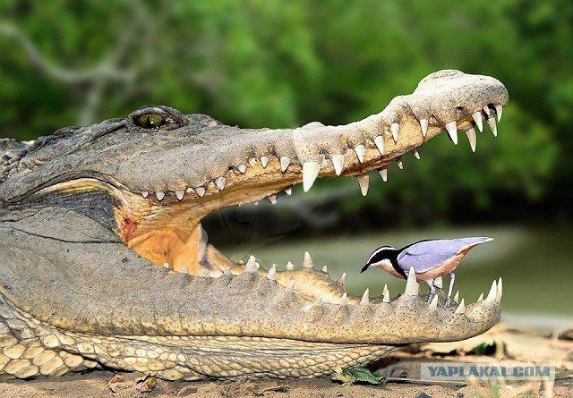 curata-dintii-crocodilului