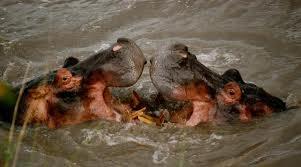 hipopotamii din lacul tanganica
