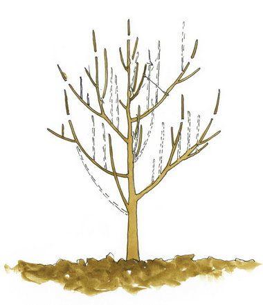Imaginea thumbnail despre Taierea pomilor fructiferi, perioade optime de aplicare