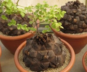 Dioscorea elephantipes planta broasca testoasa