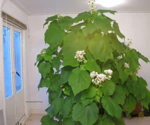Sparmannia africana teiul de camera
