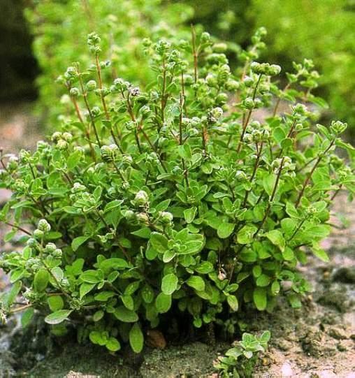 maghiran planta aromatica buna la mancare si desert