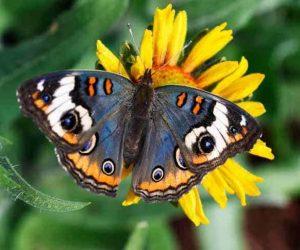 Fluture colorat, simbol al norocului