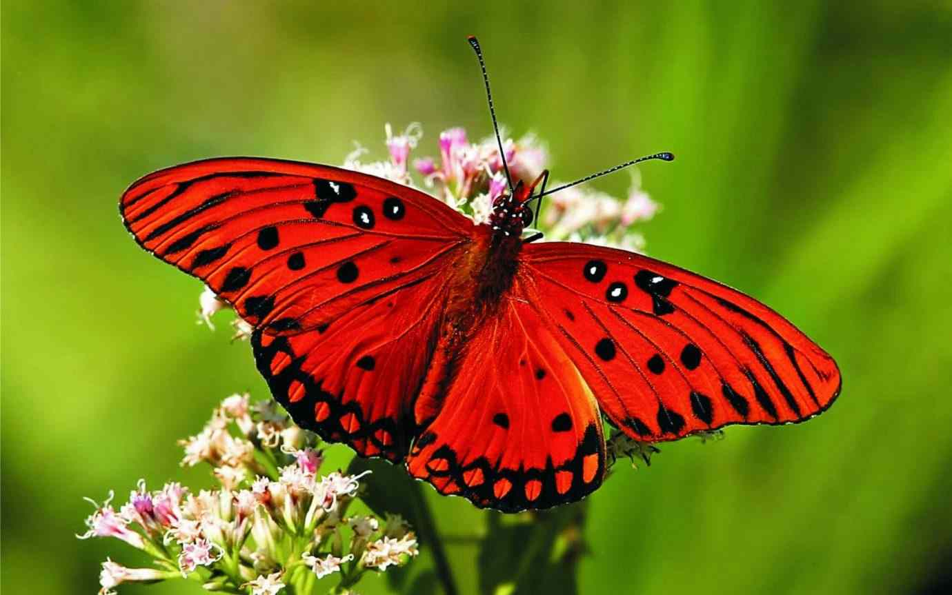 poze cu fluturi - Fluture rosu