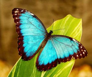 poze cu fluturi - Fluturele albastru morpho menelaus