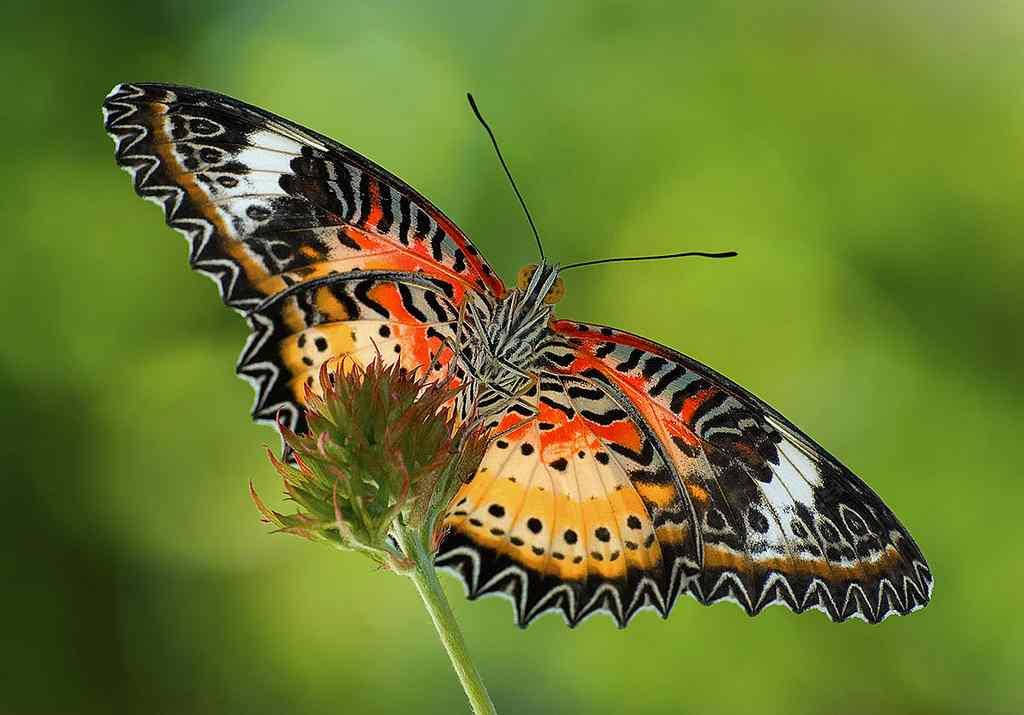 poze cu fluturi - Fluturele leopard