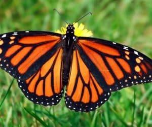 fluturele monarh
