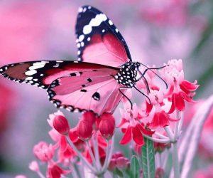 poze cu fluturi - Fluturele roz simbol al transformarii