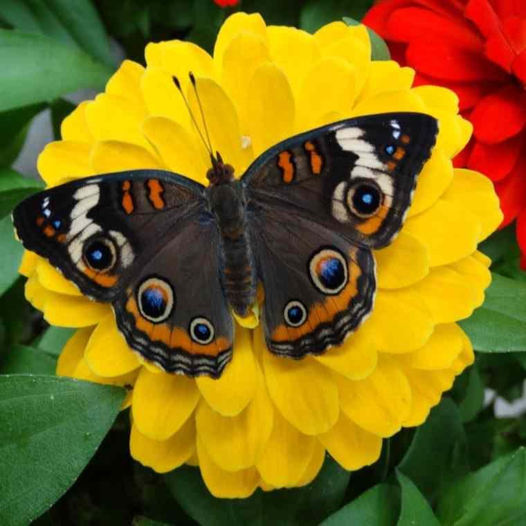 Fluturele se hraneste cu nectarul florilor