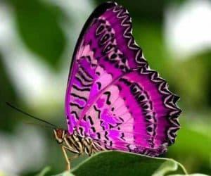 poze cu fluturi - Fluturele violet purpuriu simbol al evolutiei personale