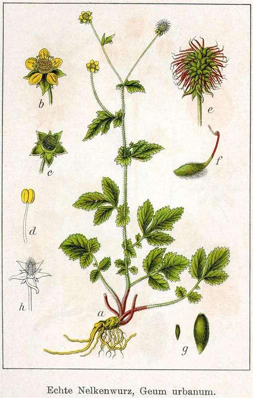Radacina de Cerentel (Geum urbanum radix)