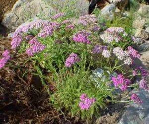 Achillea millefolium coada soricelului roz si alba