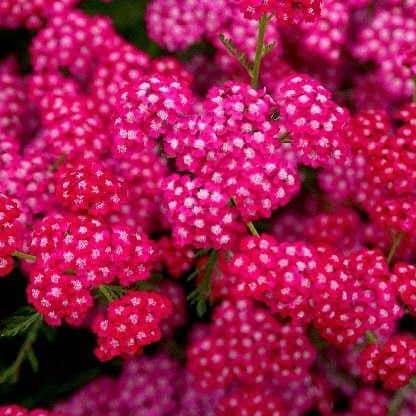 Achillea millefolium coada soricelului roz