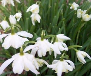 ghiocei Galanthus-Lady-Elphinstone