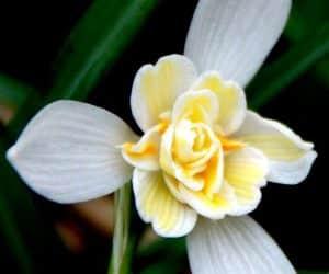 Galanthus-Lady-Elphinstone ghiocel