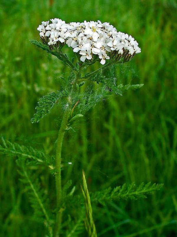 coada soricelului Achillea millefolium