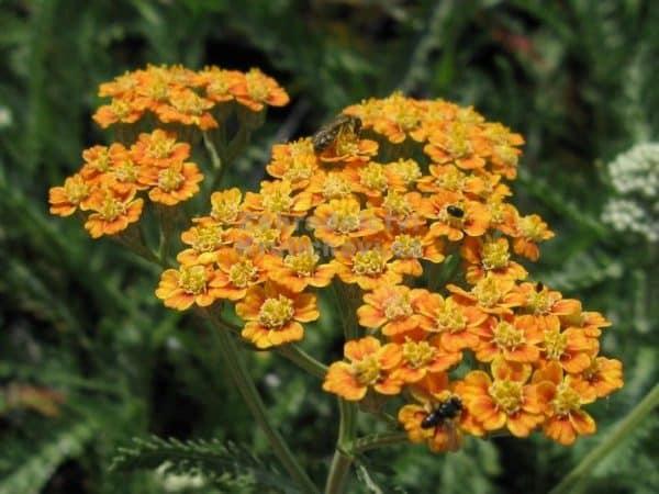 coada soricelului portocalie Achillea millefolium